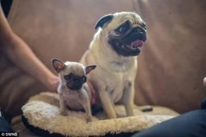 Il più piccolo della cucciolata, nella foto con la madre di Ruby, è una razza Carlino che non sembrava cresceren sembrava crescere, secondo proprietario Joanne Astley