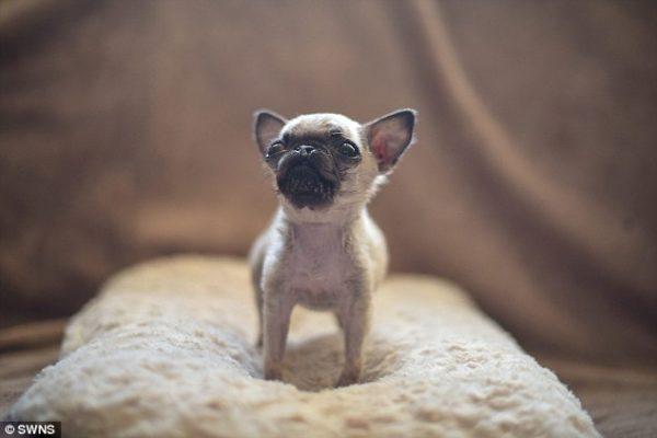 cani piccoli Il piccolo cane è nato conuna fenditura al labbro, i veterinari sospettano che potrà avere difficoltà nel crescere