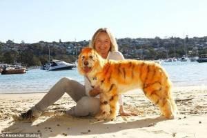 Marley il cane tigre grazie alla tinta per animali