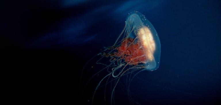 Medusa turritopsis nutricula esseri immortali