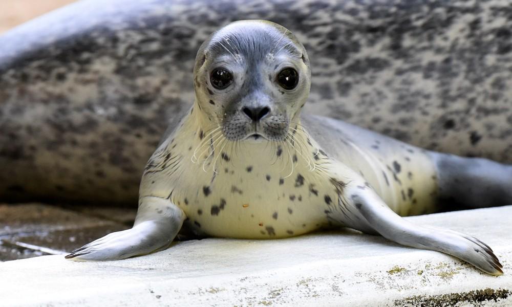 Cucciolo di foca arrestato dalla polizia, si era perso e nascosto sotto una macchina