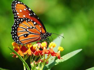 Farfalle vanessa migrate in Italia dall'Africa a causa del caldo