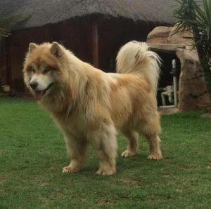 Cane che somiglia ad un leone