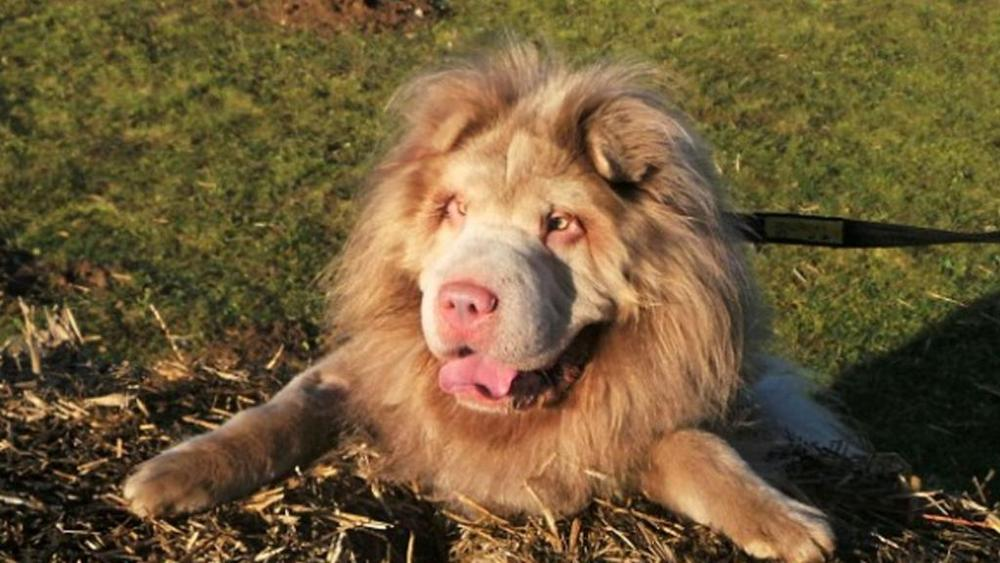 Cane che somiglia ad un leone 1