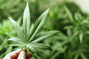 Cannabis come farmaco per le dermatiti e psoriasi
