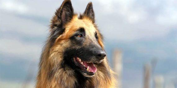 Pastore Belga Scoprire il cancro alla prostata con i cani
