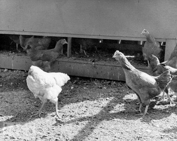 Mike: il pollo che riuscì a vivere senza testa per 18 mesi